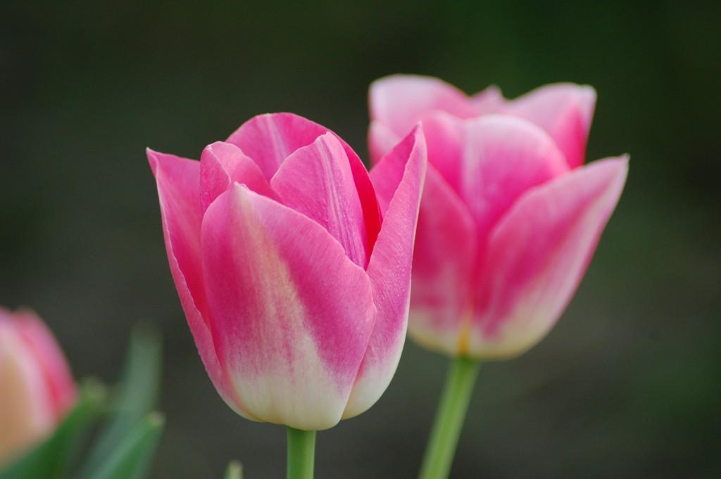 20150317_Tulips_002