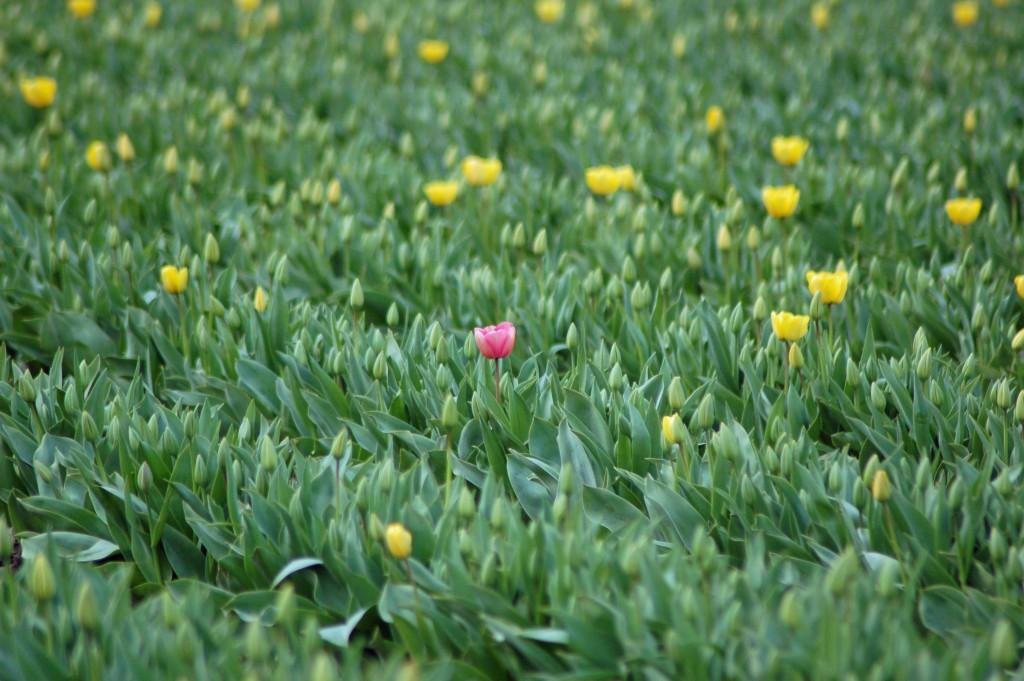 20150317_Tulips_004