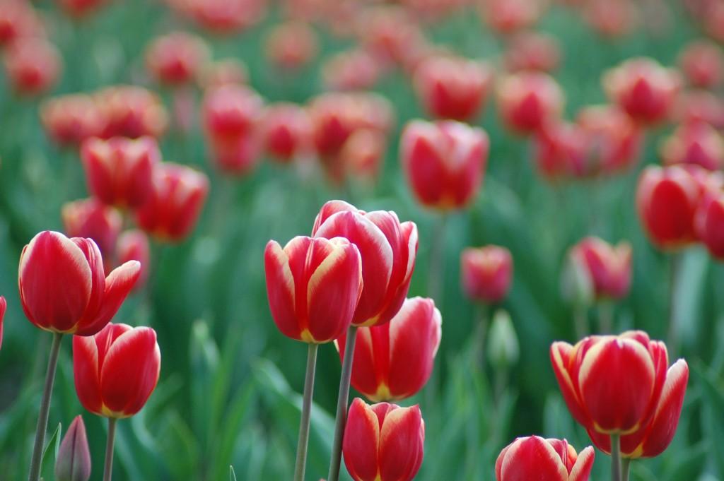 20150317_Tulips_006