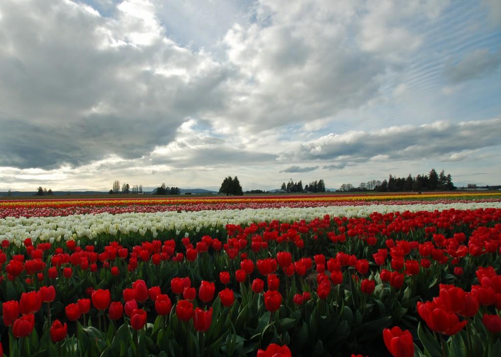 20150324_Tulip_Town_N_010