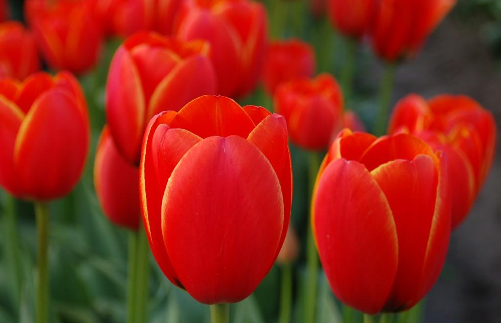 20150324_Tulip_Town_N_012