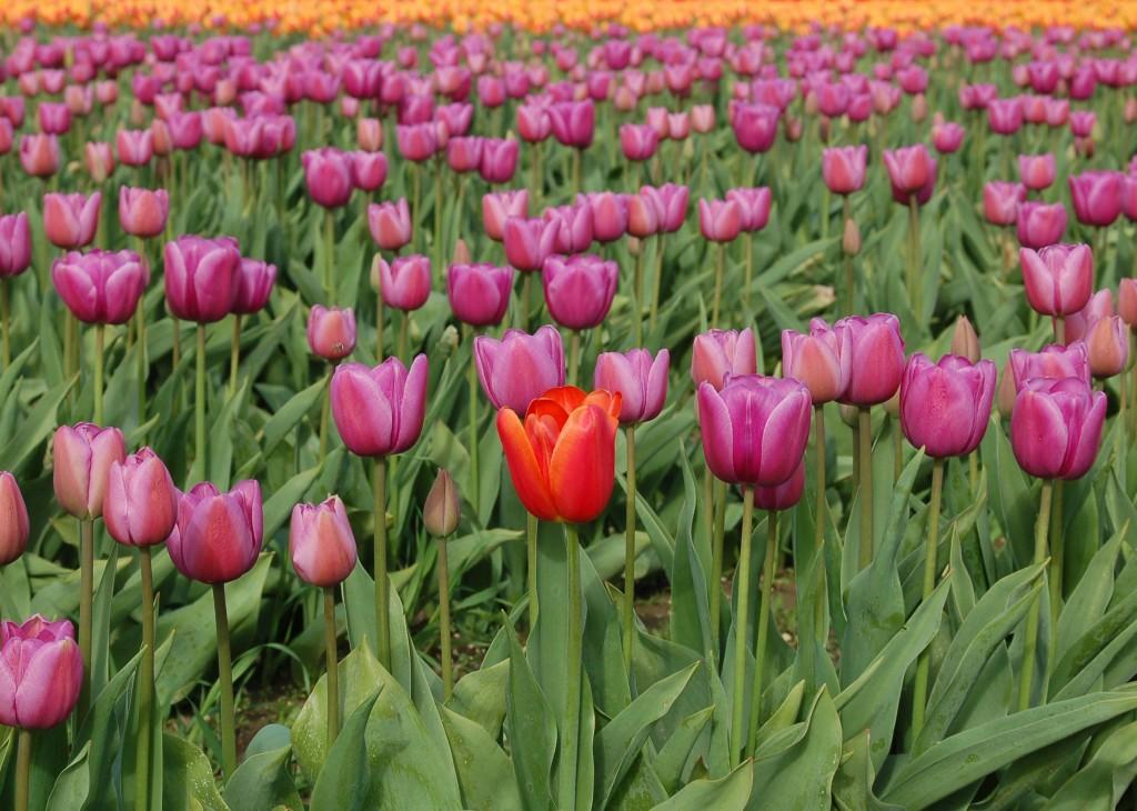 20150327_Tulips_001