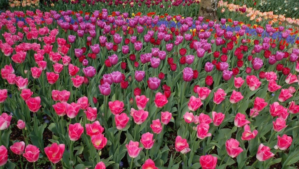 20150327_Tulips_003