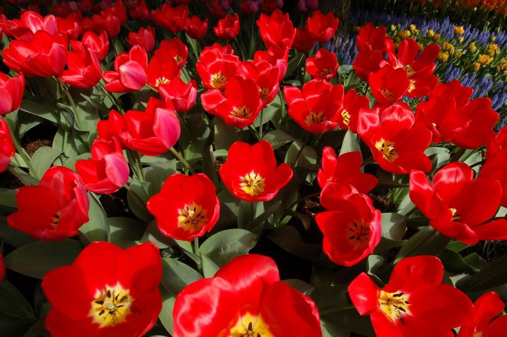 20150327_Tulips_004