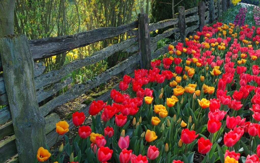 20150327_Tulips_011