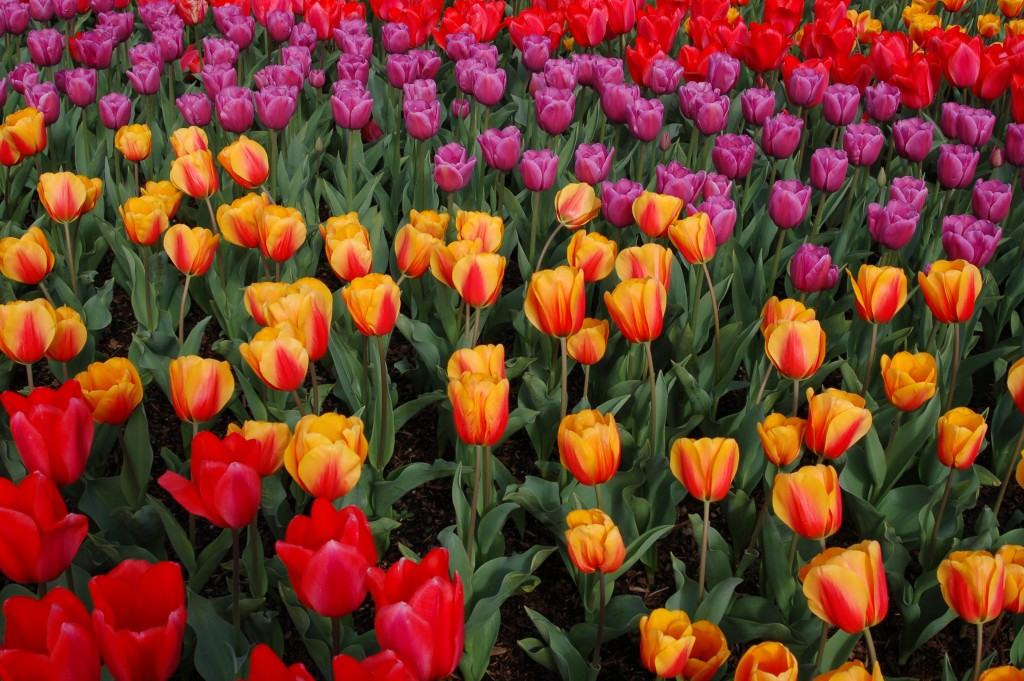 20150327_Tulips_013