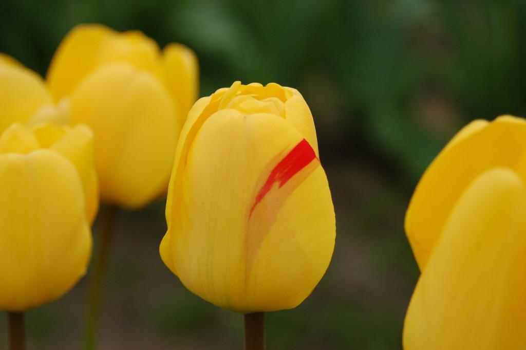 20150328_Tulips_002