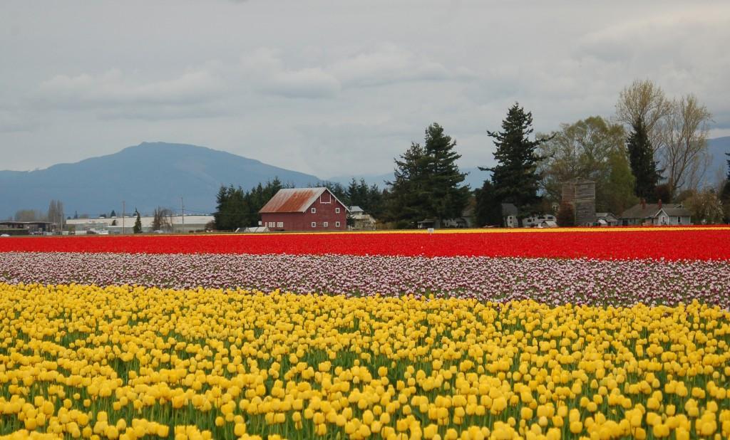 20150328_Tulips_005